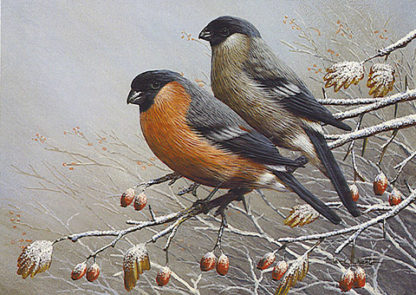 Bullfinches in Winter