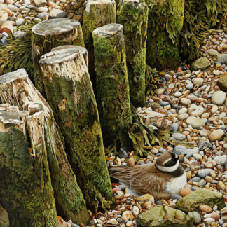 Ringed Plover by Terance James Bond