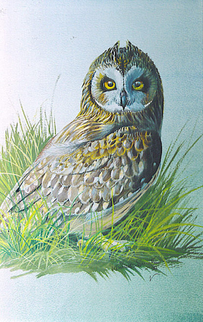 Short-Eared Owl by Kenneth Smith