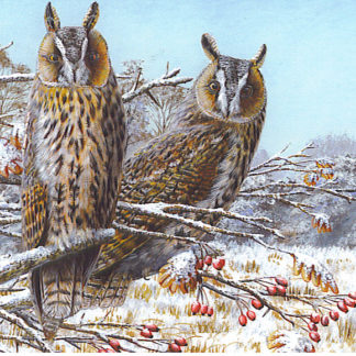 Long-eared Owls - Card Pack