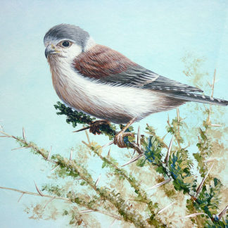 African Pygmy Falcon by Mark Chester