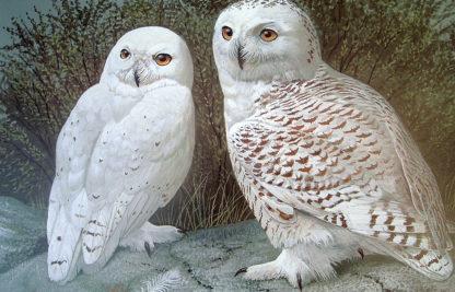 Tundra Sovereigns (Snowy Owls)