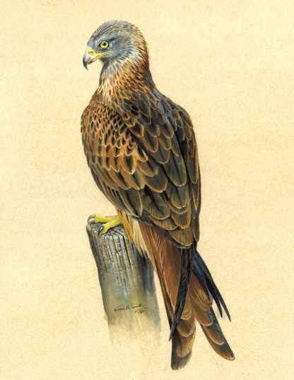 Red Kite by Kenneth Smith