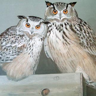 Tomsk & Olga (Eastern Siberian Eagle Owls)