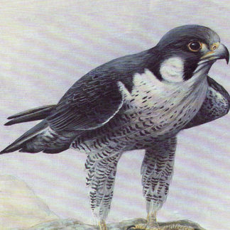 Peregrine Falcon by Mark Chester
