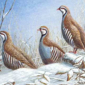 Red-Legged Partridges by Mark Chester