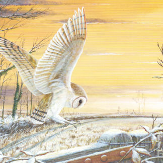 Barn Owl by Mark Chester
