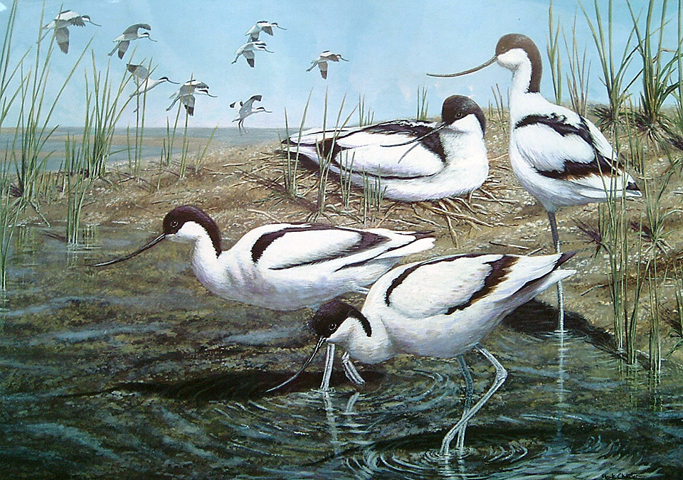 New Arrivals (Avocets) by Mark Chester